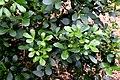 Pseudopanax lessonii in Auckland Botanic Gardens 04.jpg