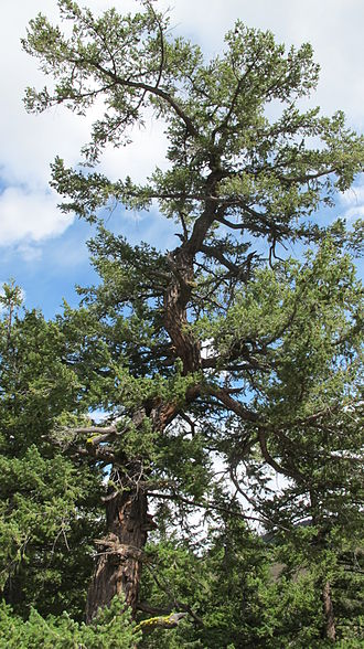 Pseudotsuga menziesii var. glauca - Douglas-fir, British Columbia