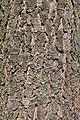 Pseudotsuga menziesii bark Rogów.jpg