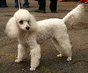 The Miniature poodle, which is of intermediate size between Standard and Toy.