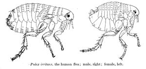 Human flea - female (left), male (right)