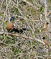 Purple-crested Turaco (Gallirex porphyreolophus) and Dark-capped Bulbuls (Pycnonotus tricolor) (31317036304).jpg