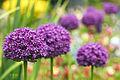 Purple Fade (17752919352).jpg