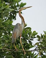Purple Heron (Ardea purpurea) - Flickr - Lip Kee (1).jpg