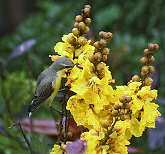 Purple Sunbird (Female) I IMG 6029.jpg