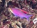 Purple anthias (Pseudanthias tuka) (45811655025).jpg