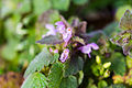 Purple deadnettle (25563433351).jpg