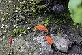 Pycnoporus cinnabarinus (35380192904).jpg