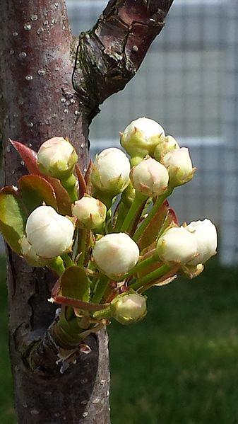 File:Pyrus pyrifolia (Hosui) blossom.jpg