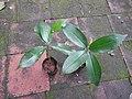 Quassia indica-2-bsi-yercaud-salem-India.jpg