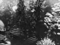 Queensland State Archives 1025 Submarine View of Fish and Coral Great Barrier Reef c 1931.png