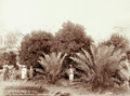 Queensland State Archives 5158 Veritz Farm near Peachester Date Palms Orange Trees c 1899.png