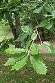 Quercus canariensis kz05.jpg