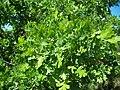 Quercus lobata-3.jpg