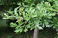 Quercus nigra Laub.jpg