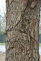 Quercus oglethorpensis (23841769239).jpg