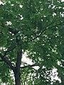 Quercus rubra (Red Oak) C36-1.jpg