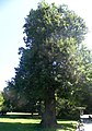Quercus rubra Stadtpark Graz Austria.JPG