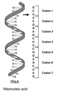 Genetic code scheme, defines how sequences of codons specify which amino acid will be added next during protein synthesis; set of rules by which information encoded within genetic material (DNA or mRNA sequences) is translated into proteins by living cells