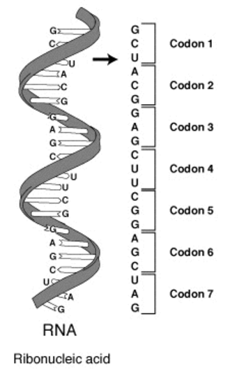 Genetic code - A series of codons in part of a messenger RNA (mRNA) molecule. Each codon consists of three nucleotides, usually corresponding to a single amino acid. The nucleotides are abbreviated with the letters A, U, G and C. This is mRNA, which uses U (uracil). DNA uses T (thymine) instead. This mRNA molecule will instruct a ribosome to synthesize a protein according to this code.