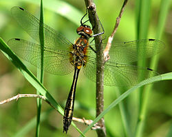 Racket-tailed Emerald.jpg
