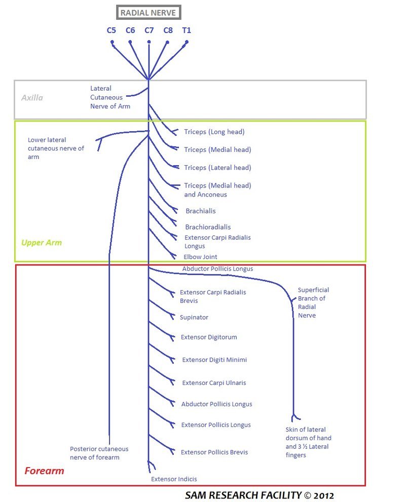 Radial Nerve Eanswers