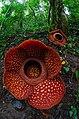 Rafflesia Arnoldii Batang Palupuah Indonesia.jpg