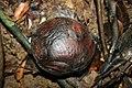 Rafflesia bud closeup.jpg