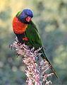 Rainbow lorikeet, Trichoglossus moluccanus, Royal Botanic Gardens, Melbourne, Australia (25093199884).jpg