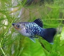 Platy (fish) - Wikipedia