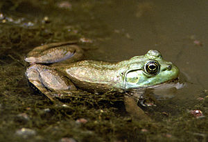 A brown and green frog lying semi-submerged in water filled with weeds
