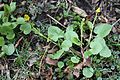 Ranunculus ficaria Mukulaleinikki IM7164 C.JPG