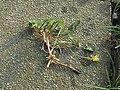Ranunculus ficaria Whole Plant.jpg
