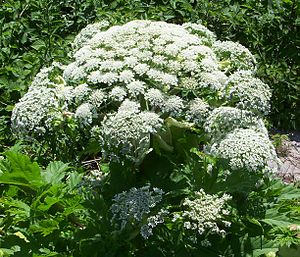 A Giant Hogweed flower in close-up. Do not touch!