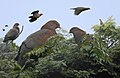 Red-billed Pigeon From The Crossley ID Guide Eastern Birds.jpg