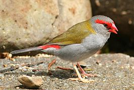 Red-browed Finch.jpg
