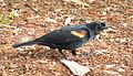 Red-winged Blackbird 01.jpg