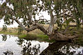 Red Gum on Lollypop Creek, Wyndham Vale Australia (4530822412).jpg
