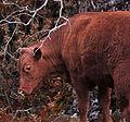 Red Heifer (16584045583).jpg