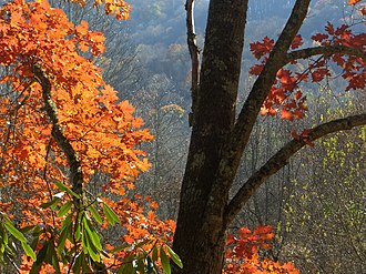 Quercus rubra - Red oak in Appalachian mountains