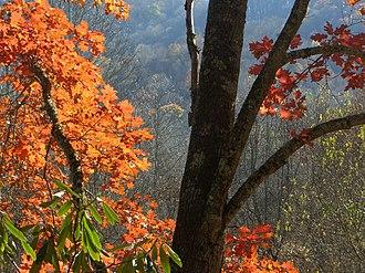 Quercus rubra - Red oak in Appalachian mountains
