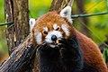 Red Panda (37832732884).jpg