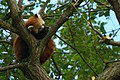 Red Panda Sleeping On The Tree (138363267).jpeg