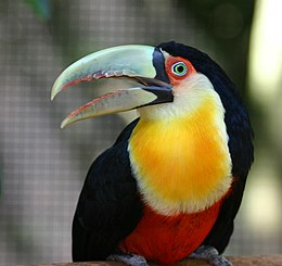 Red breasted toucan Brazil.JPG