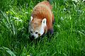 Red panda at Chester Zoo 6.jpg