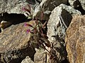 Redstem monkeyflower, Erythranthe rubella, magenta form (15840364877).jpg