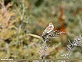 Reed Bunting (Emberiza schoeniclus) (32735810388).jpg