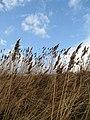 Reed covered sea wall - geograph.org.uk - 721680.jpg