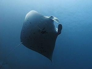 Reef manta ray - Image: Reef manta at Manta Alley