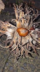Baum Hasel Wikipedia